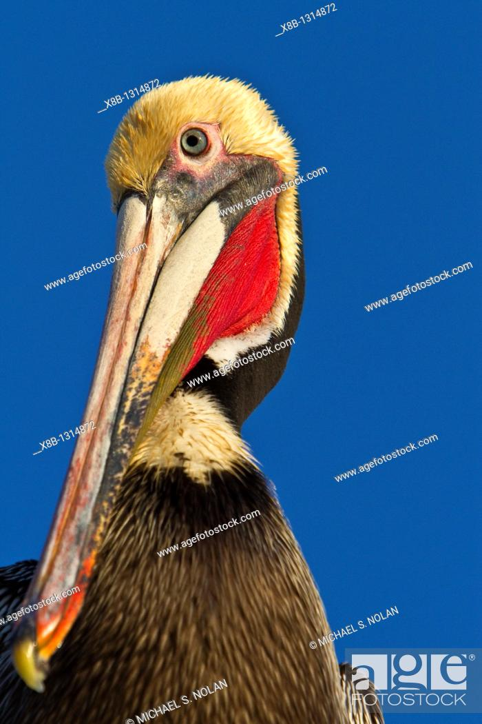 Stock Photo: Adult brown pelican Pelecanus occidentalis gathering at the docks in the fishing town of San Carlos on the Pacific side of Baja California Norte, Mexico.