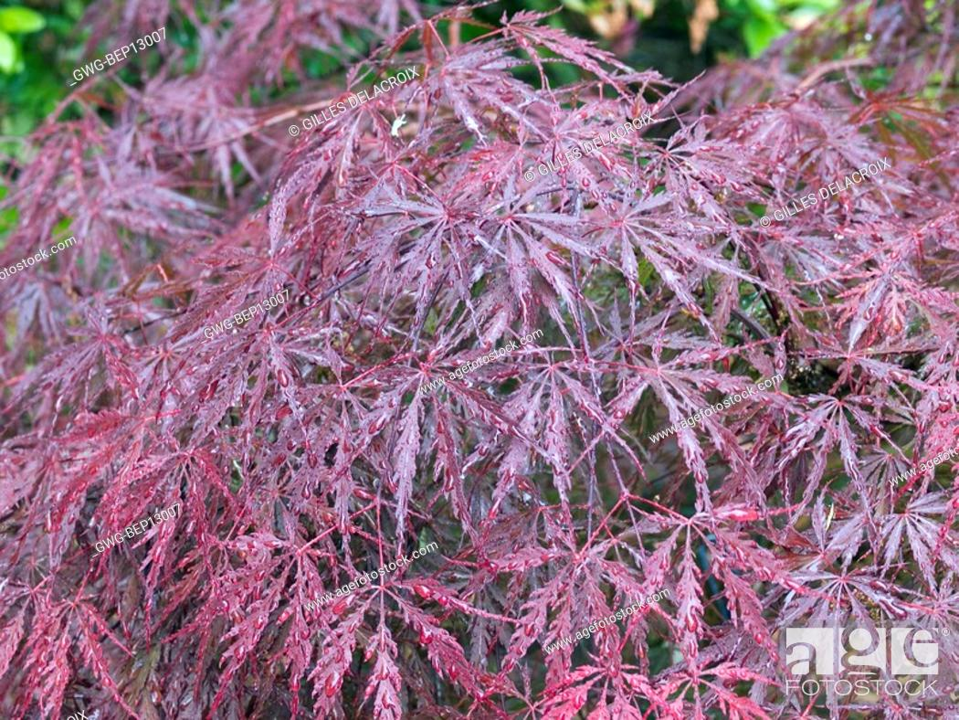 Acer Palmatum Dissectum Tamukeyama Stock Photo Picture And Rights