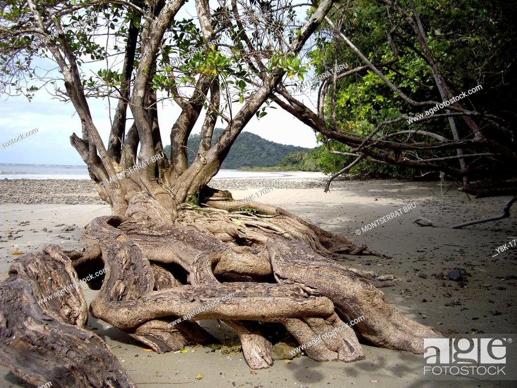 Stock Photo: Mangrove tree at Cape Tribulation beach.