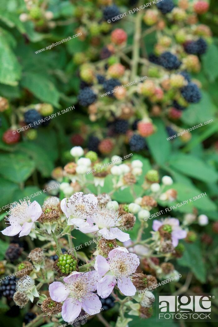 Stock Photo: Bramble (Rubus fruticosus) close-up of flowers, with berries in background, England, August.