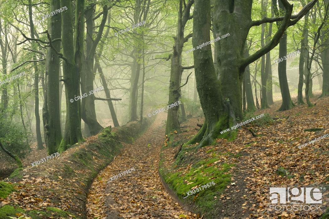 Stock Photo: A misty broadleaf woodland in autumn at Dowsborough in the Quantock Hills, Somerset, England.