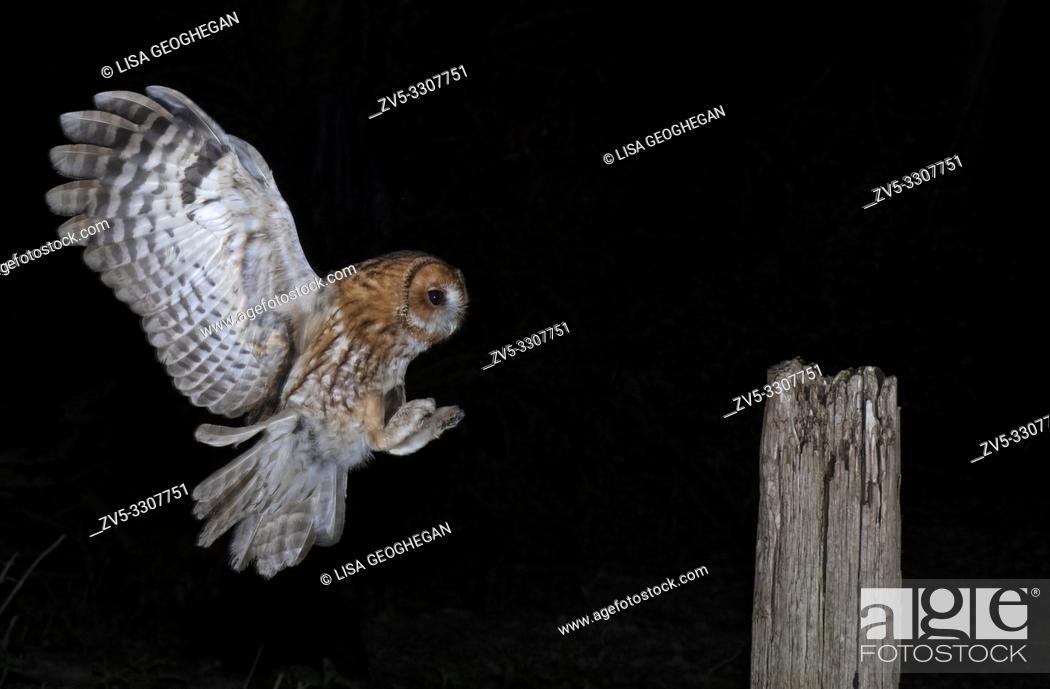 Imagen: Tawny Owl-Strix aluco in flight. Uk.