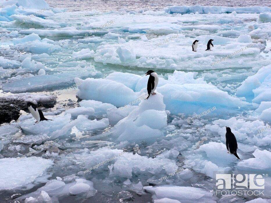 Imagen: Group of Adelie Penguins on pack ice, Paulet Island, Antarctica.