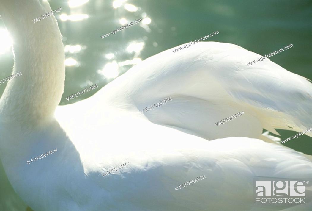 Stock Photo: Swan.