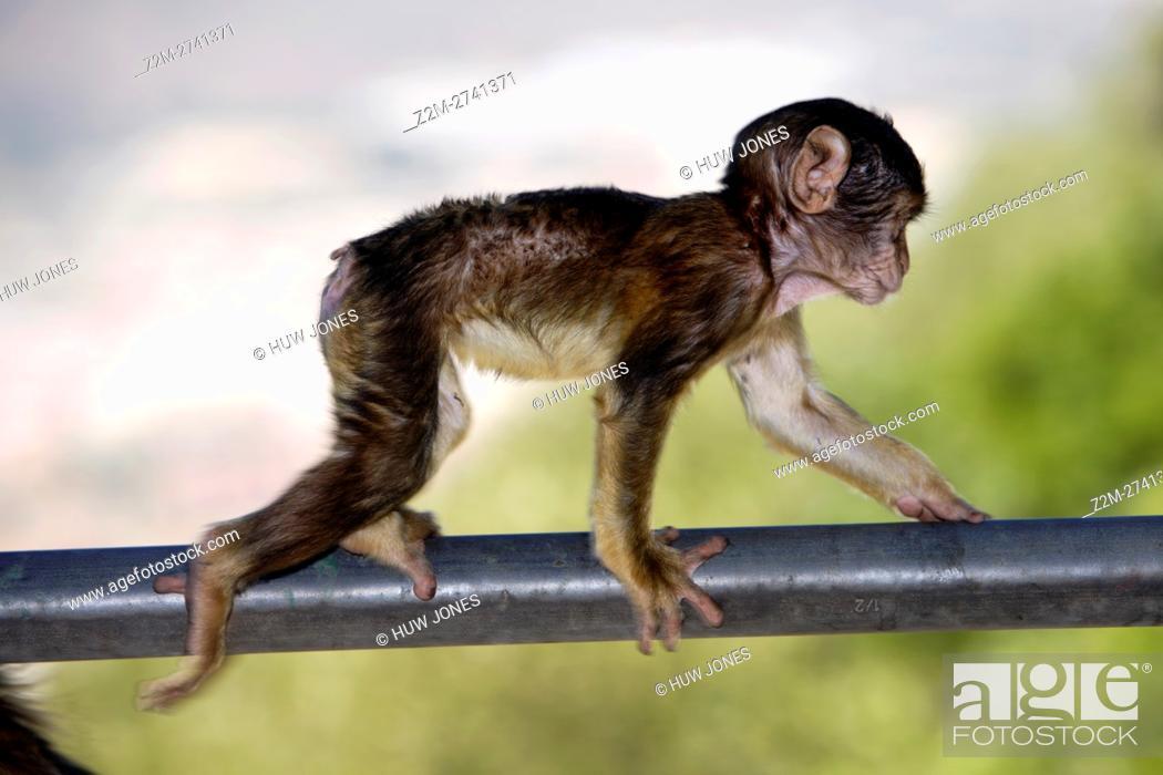 Stock Photo: Baby Barbary Ape, Gibraltar.