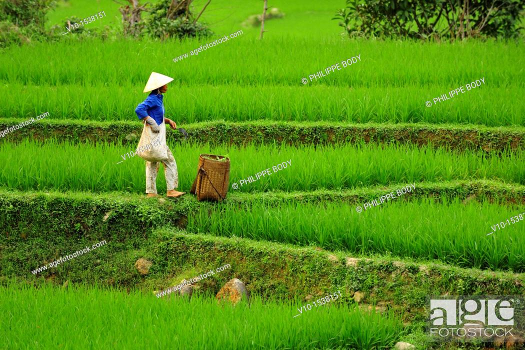 Stock Photo: Vietnam, province of Hoa Binh, national Park of Cuc Phuong, Ban Hieu, Thai woman in rice fields in terrace.