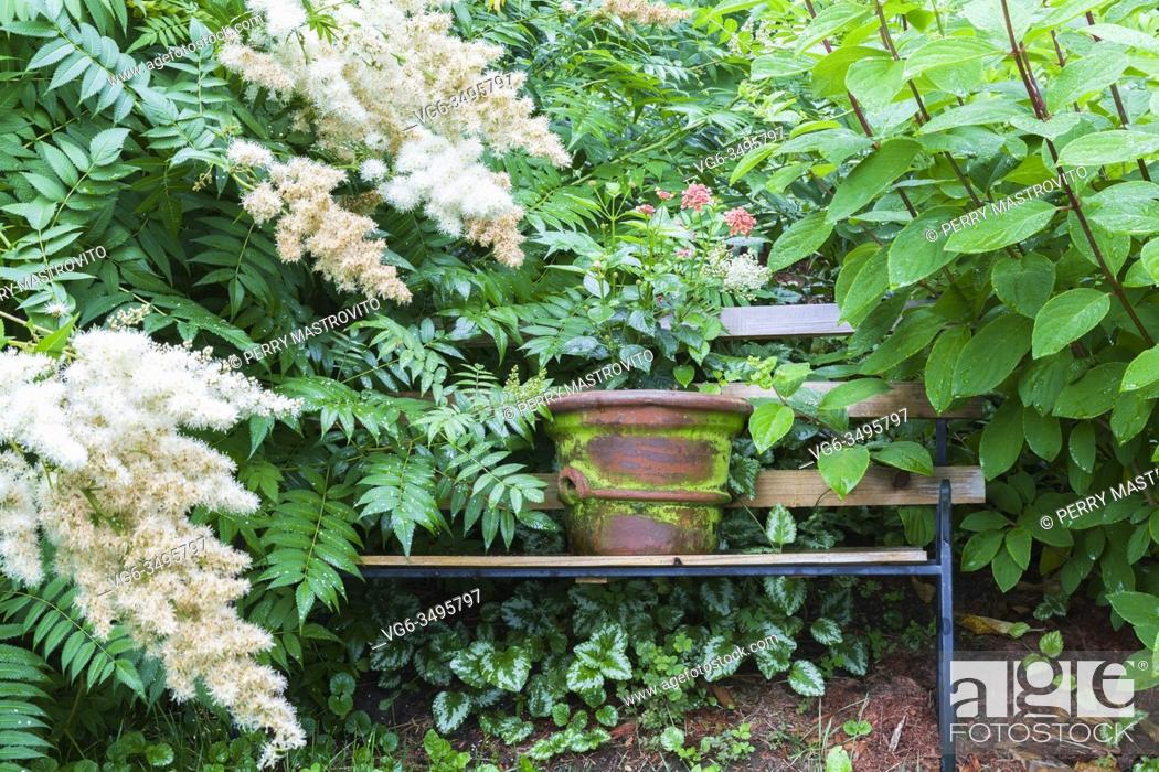 Stock Photo: Salmon-pink Lantana - Shrub verbena in green and terracotta ceramic container on wood and black cast iron metal sitting bench bordered by white Sorbaria.