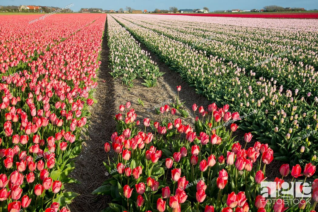 Stock Photo: tulip fields at Texel.