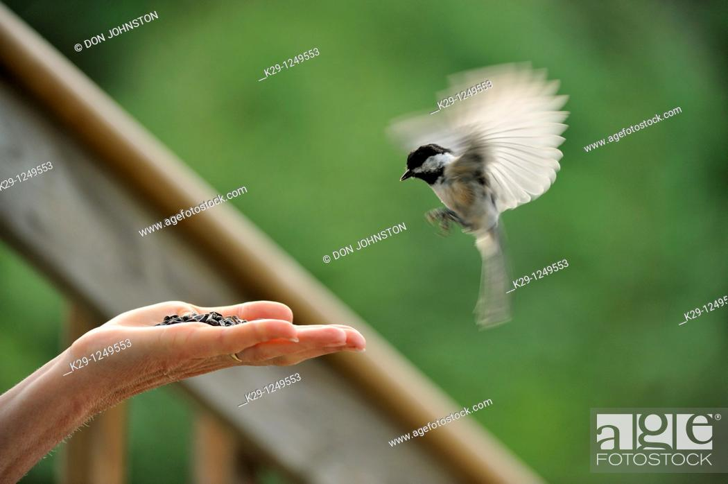 Stock Photo: Black capped chickadee Parus atricapillus Coming to human hand for seeds.
