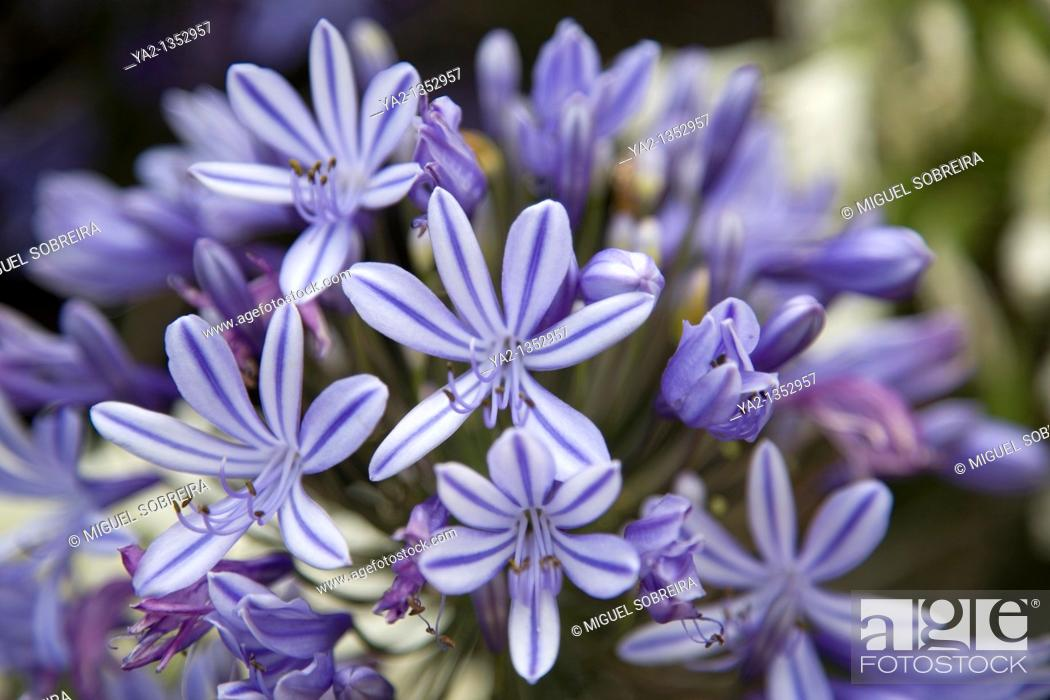 Stock Photo: Agapanthus Africanus at Kirstenbosch Gardens in Cape Town.