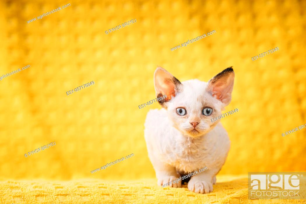 Stock Photo: Happy Funny Small Little White Devon Rex Kitten Kitty Posing On Yellow Plaid Background. Short-haired Cat Of English Breed. Shorthair Pet Cat.