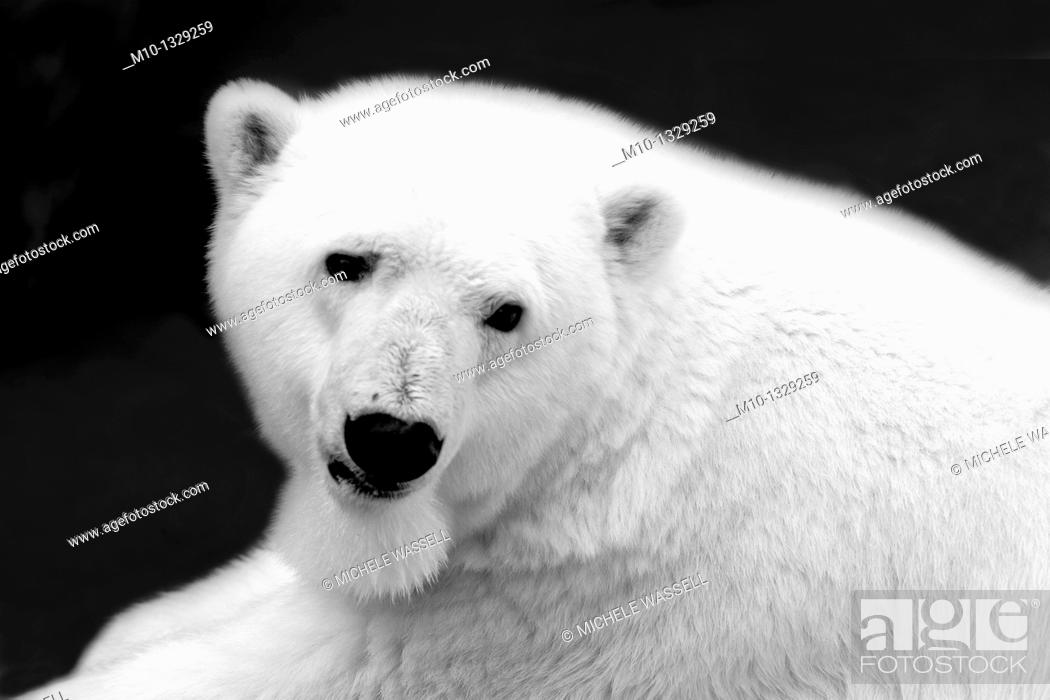 Stock Photo: Close-up photo of a Polar Bear in black and white.