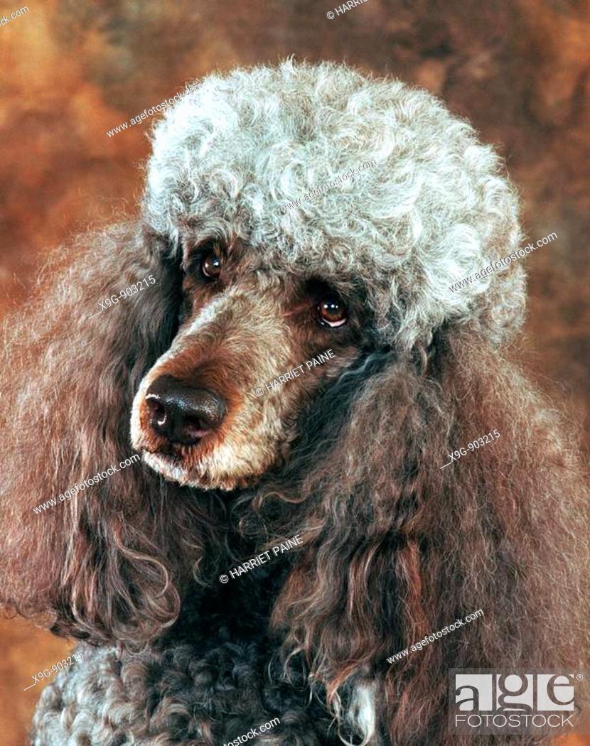 Stock Photo: Standard Poodle.