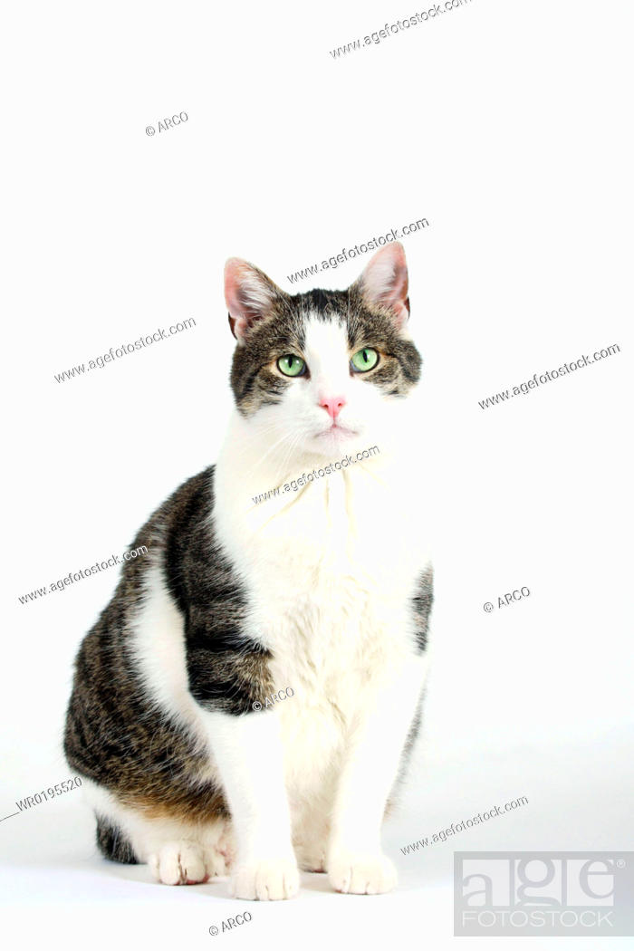 Stock Photo: Domestic, Cat,.