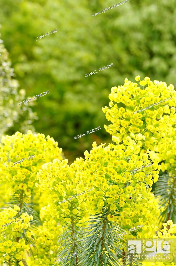 Imagen: Spurge, Mediterranean spurge, Euphorbia characias wulfenii, growing outdoor.-.