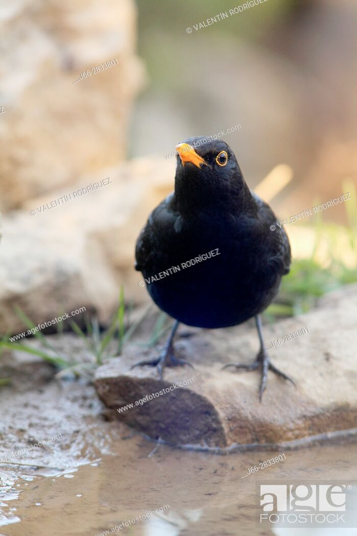 Imagen: Blackbird (Turdus merula) male in the region of Los Serranos. Valencia.