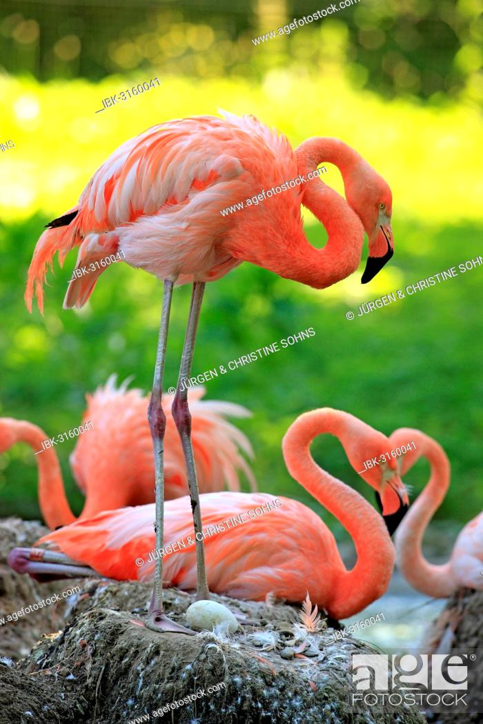 Stock Photo: Red Flamingoes or Cuban Flamingoes (Phoenicopterus ruber ruber), adult, brooding, on nests, native to South America, captive, Heidelberg, Baden-Württemberg.