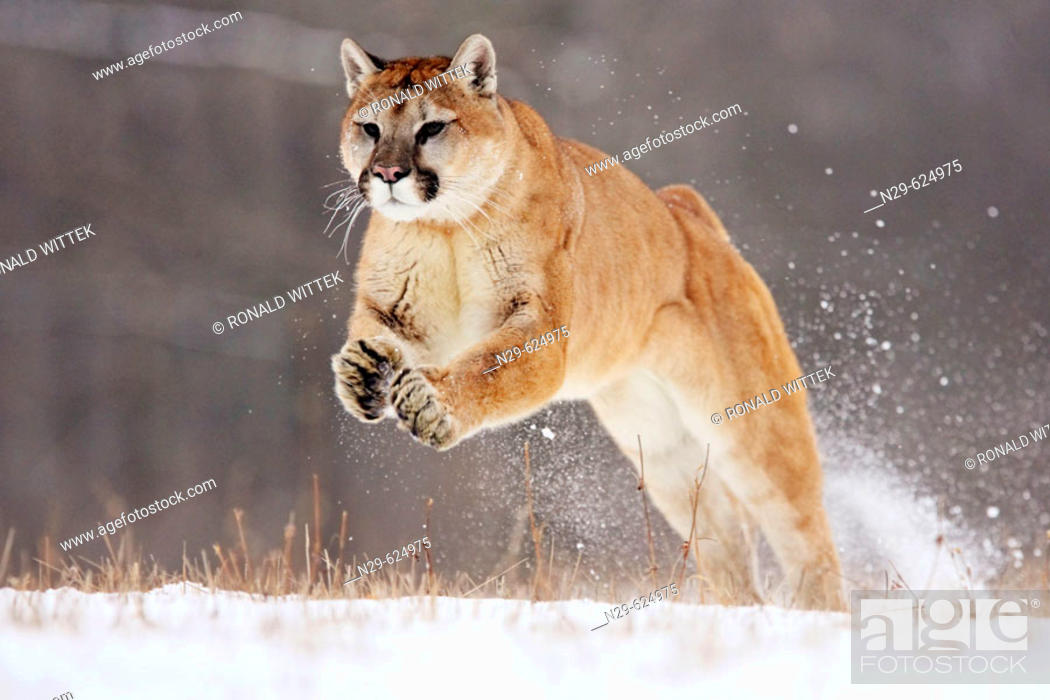 Stock Photo: Mountain Lion (Felis concolor) in a game farm. Minnesota. USA.