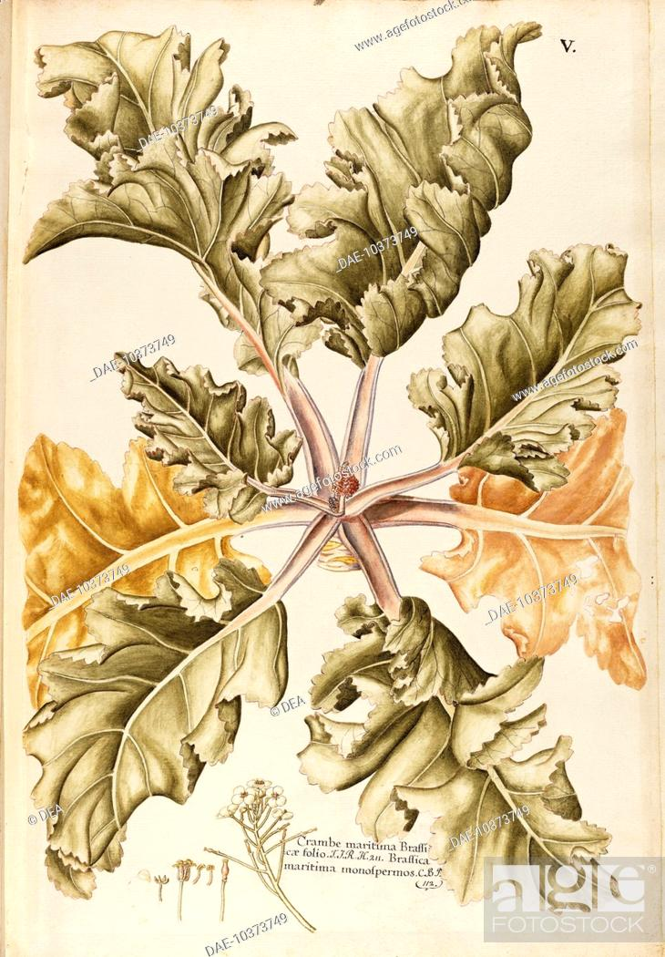 Stock Photo: Herbal, 18th-19th century. Iconographia Taurinensis. Volume IX, Plate 5 by Francesco Peyrolery: Sea Kale (Crambe maritima), Cruciferae.