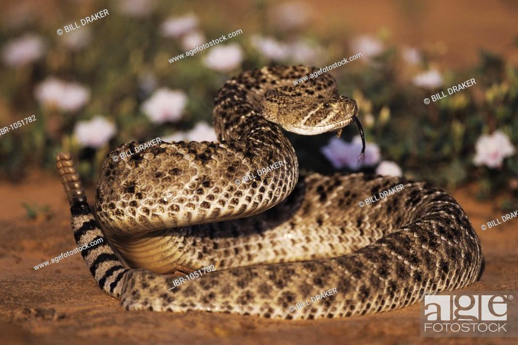 Stock Photo: Western Diamondback Rattlesnake (Crotalus atrox), adult in defense pose among flowers in desert, Starr County, Rio Grande Valley, Texas, USA.