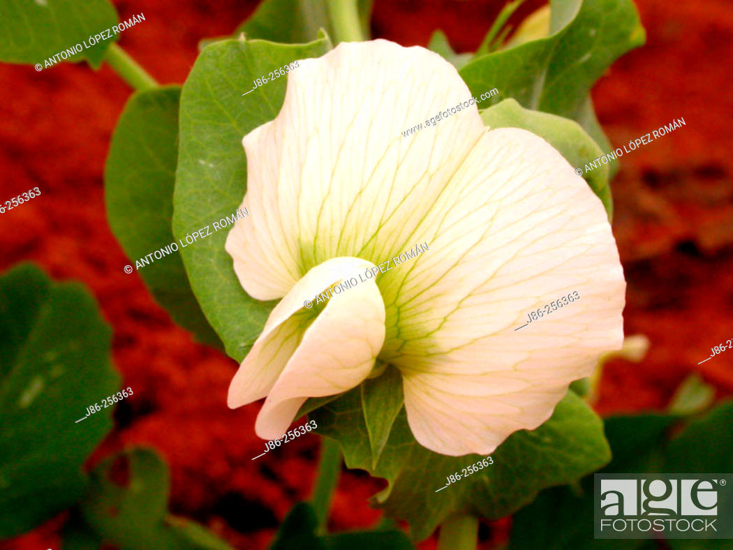 Stock Photo: Flower of pea plant.