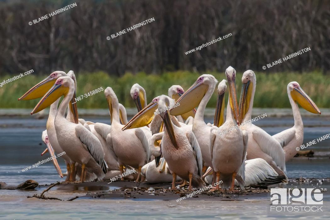 Stock Photo: Great White Pelican, Nechisar National Park, Lake Chamo, Arba Minch, Ethiopia. Lake Chamo is one of the two largest Rift Valley lakes.