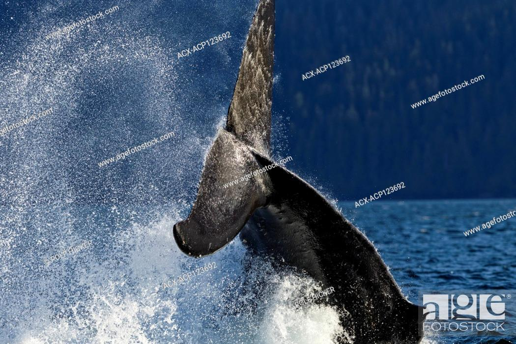 Stock Photo: Humpback whale splashing its powerful fluke In the Broughton Archipelago, First Nations Territory, British Columbia, Canada.