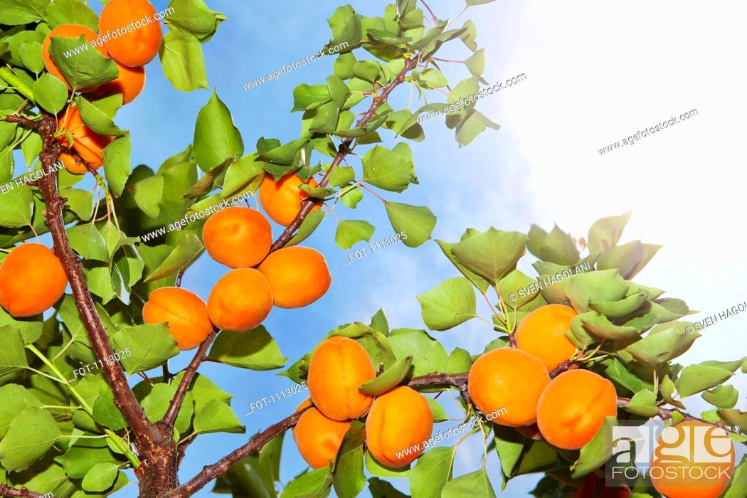 Stock Photo: The sun shining on apricots growing on an apricot tree.