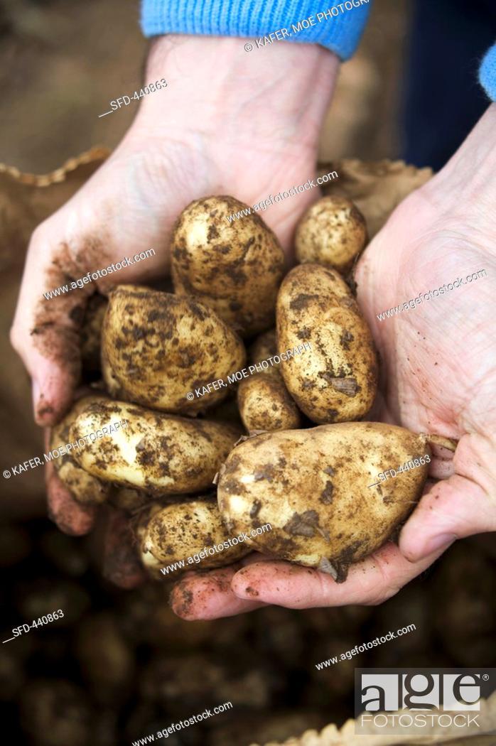 Stock Photo: Hands holding freshly-dug Jersey Royals.