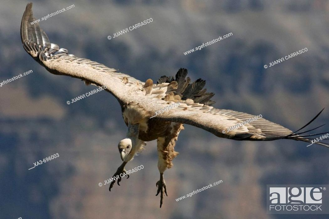 Stock Photo: Griffon Vulture (Gyps fulvus) in flight.