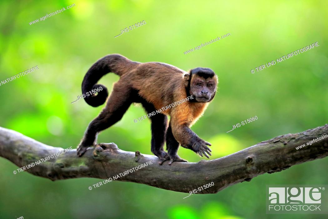 Stock Photo: Brown Capuchin, tufted capuchin, black-capped capuchin, (Cebus apella), adult on tree, South America.