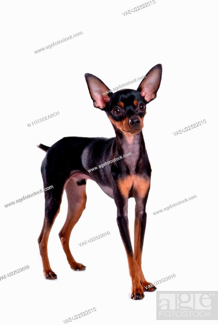 Stock Photo: pose, domestic, companion, house pet, canines, posed, miniature pinscher.