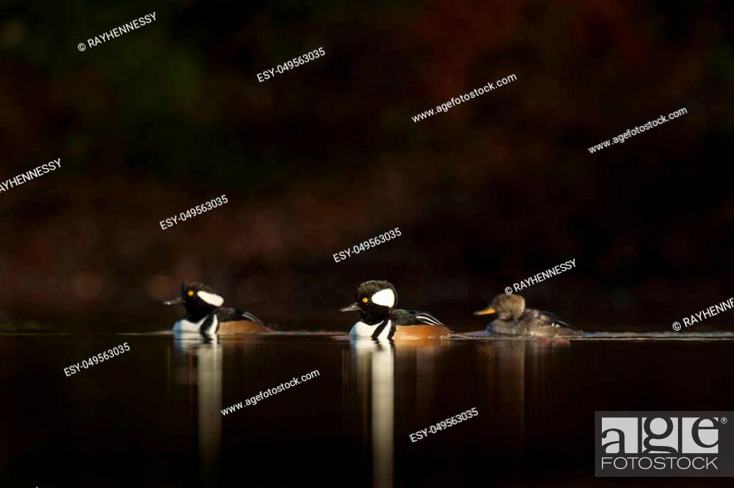 Imagen: A trio of Hooded Mergansers swim on a calm pond as the early morning sun shines on them against a black background.