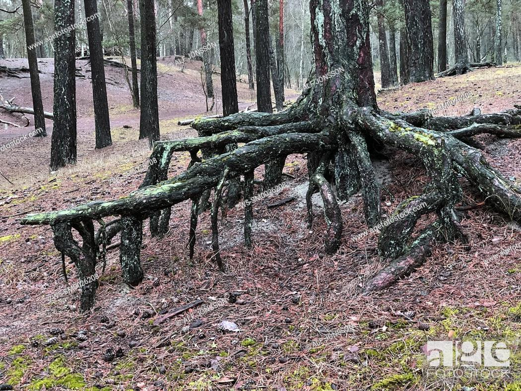 Stock Photo: Aerial roots in a pine tree forest, planted to stop a sand drift during the 19th century, Ystad, Sweden, Europe.