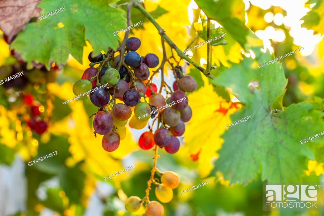 Stock Photo: Small bunches of red and white grapes growing in southern Europe at sunset.