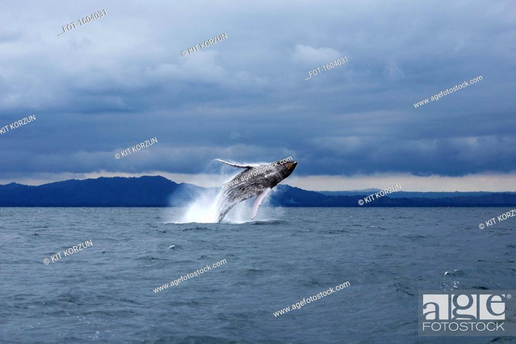 Stock Photo: Humpback whale jumping in sea against dramatic sky.