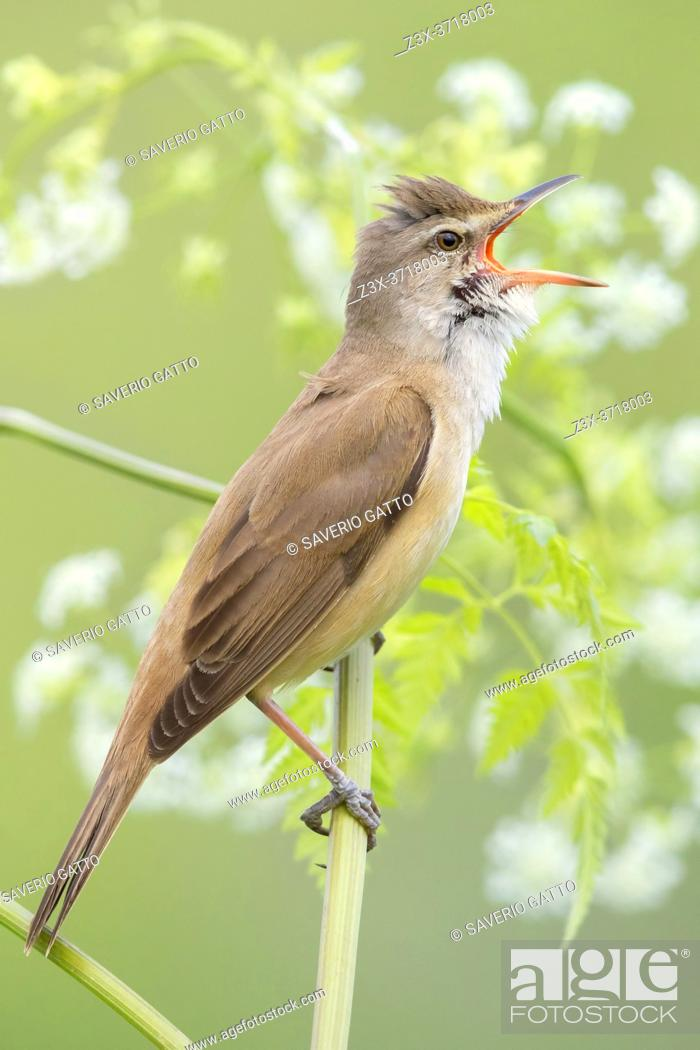 Stock Photo: Great Reed Warbler (Acrocephalus arundinaceus), side view of an adult singing from a stem, Campania, Italy.