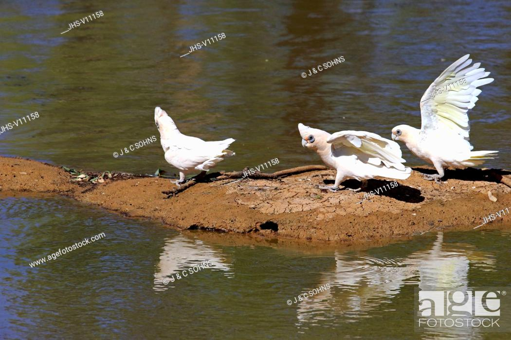 Stock Photo: Little Corella, (Cacatua sanguinea), bare-eyed cockatoo, blood-stained cockatoo, short-billed corella, little cockatoo, blue-eyed cockatoo, group at water.