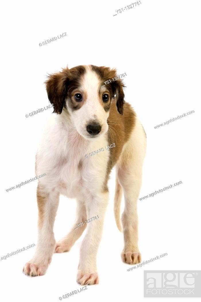 Stock Photo: BORZOI OR RUSSIAN WOLFHOUND, PUP AGAINST WHITE BACKGROUND.