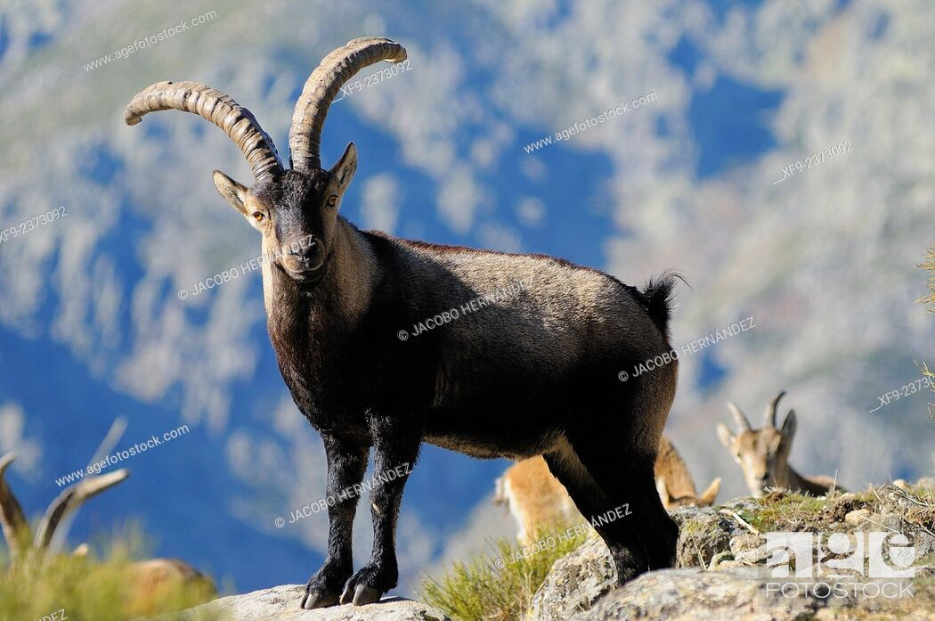 Stock Photo: Spanish ibex(Capra pyrenaica) La Sierra Game Reserve.Gredos mountains.Cáceres province.Extremadura.Spain.