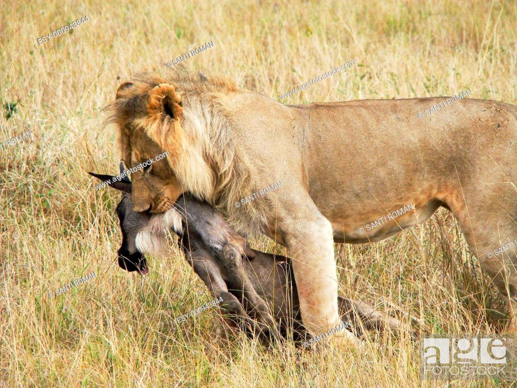 Stock Photo: Lion Panthera leo, lioness with prey, Blue Wildebeest Connochaetes taurinus, Masai Mara National Reserve, Kenya, East Africa.