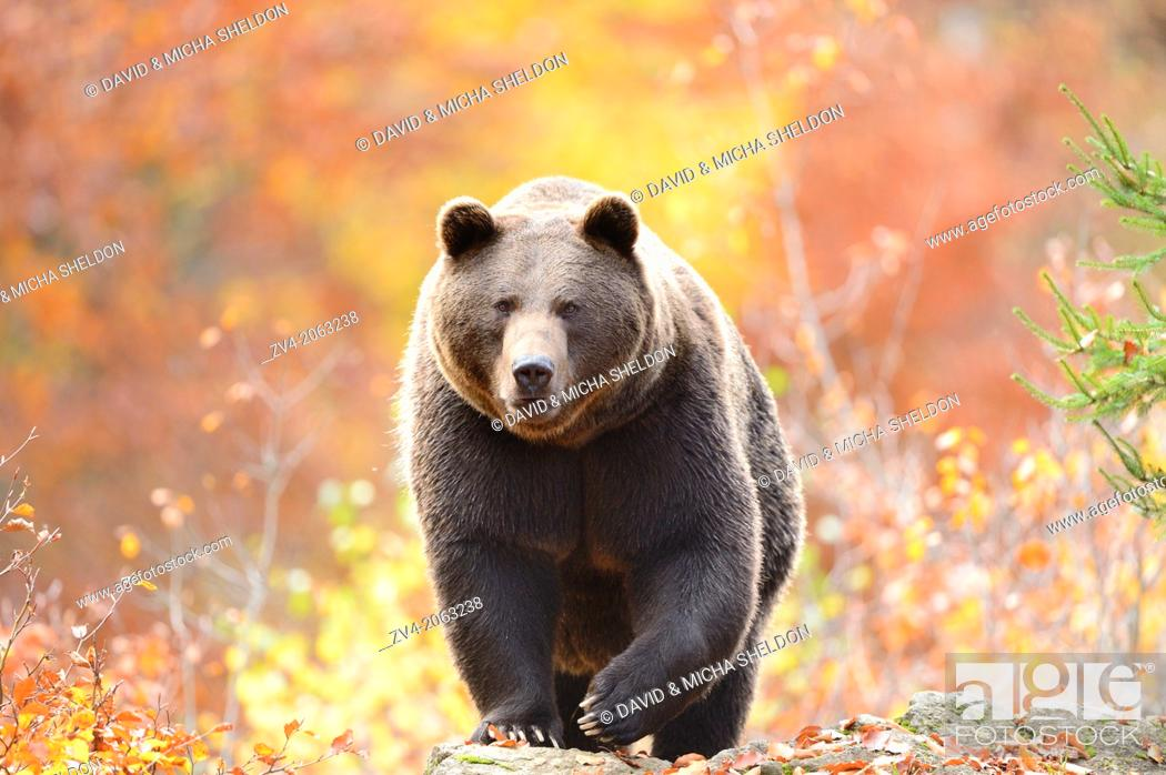 Stock Photo: Close-up of a brown bear (Ursus arctos) in autumn in the bavarian forest.