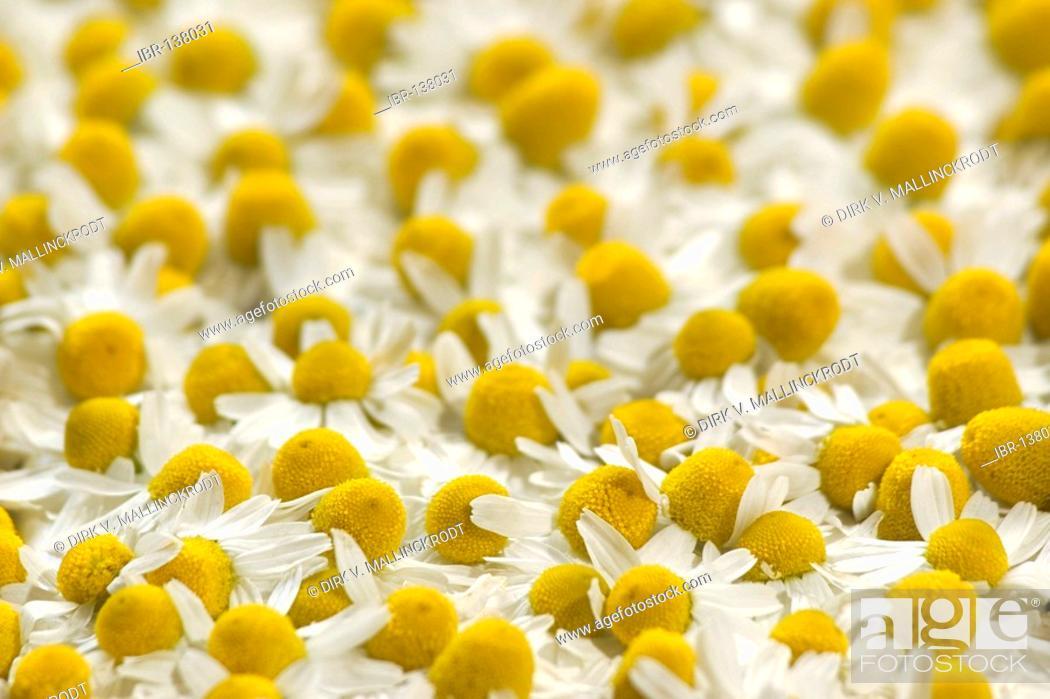 Stock Photo: Drying camomile flower heads camomile production chamomilla recutita.