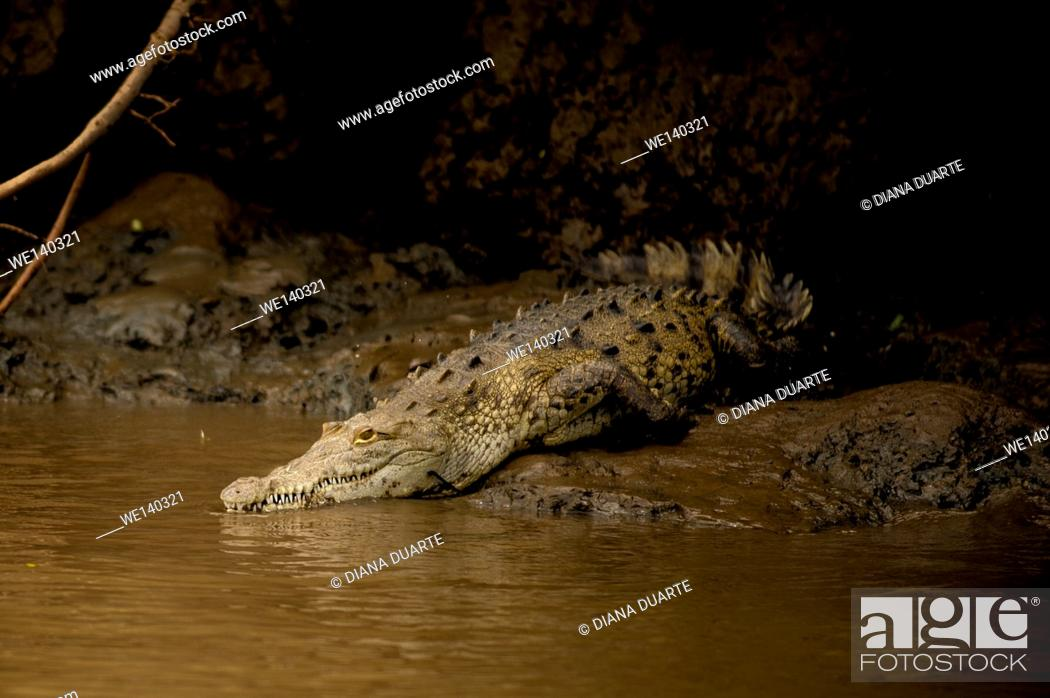 Stock Photo: 'American crocodile (Crocodylus acutus)'. Large individuals of this species can stay submerged without air for over an hourâ.