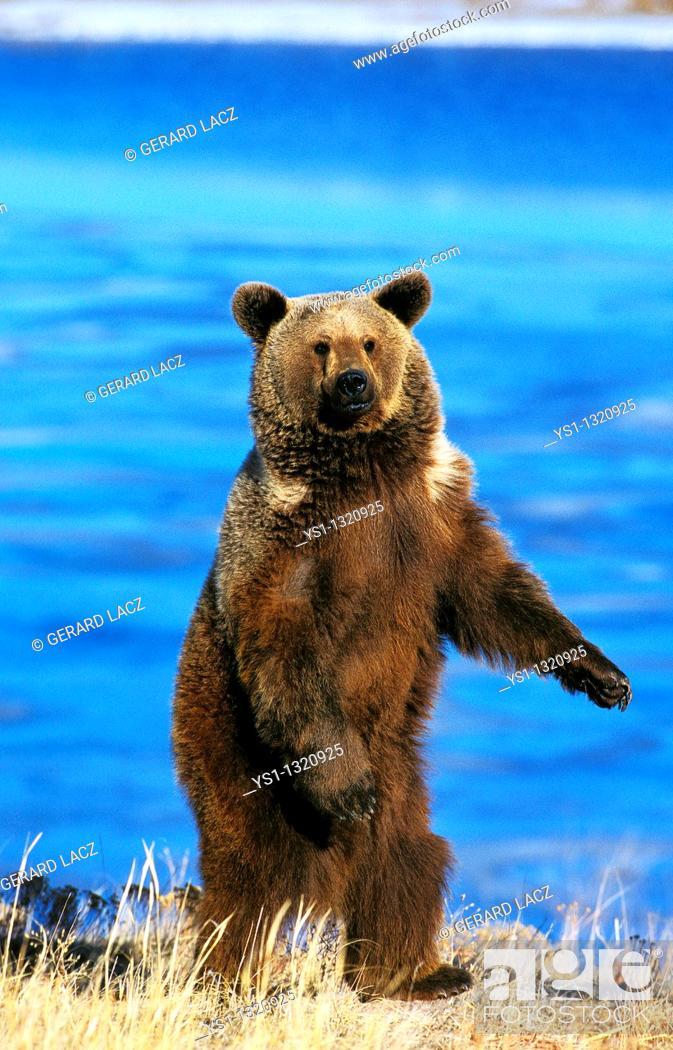 Stock Photo: GRIZZLY BEAR ursus arctos horribilis, ADULT STANDING ON HIND LEGS, ALASKA.