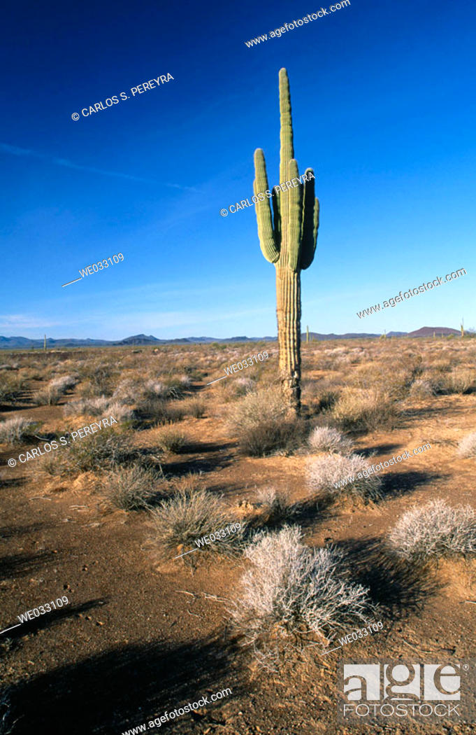 Stock Photo: Cactus, Pinacate and Altar Desert. Sonora, Mexico.