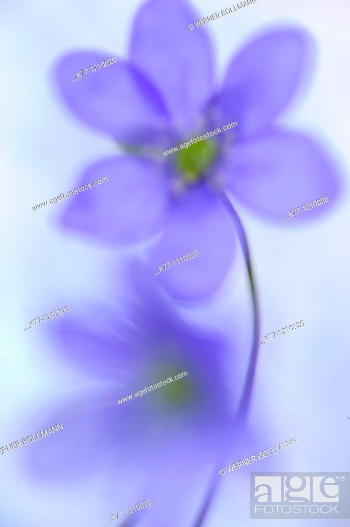 Stock Photo: Liverleaf/Liverwort (Hepatica nobilis), Sweden.