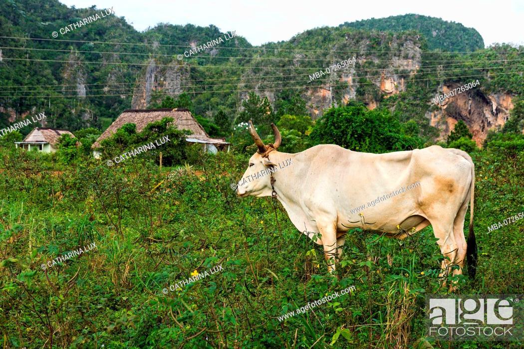 Stock Photo: Cuba, Valley of Vinales, Valle de Vinales, cattle.