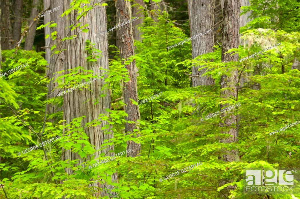 Stock Photo: Red cedar forest, Wells Gray Provincial Park, British Columbia, Canada.