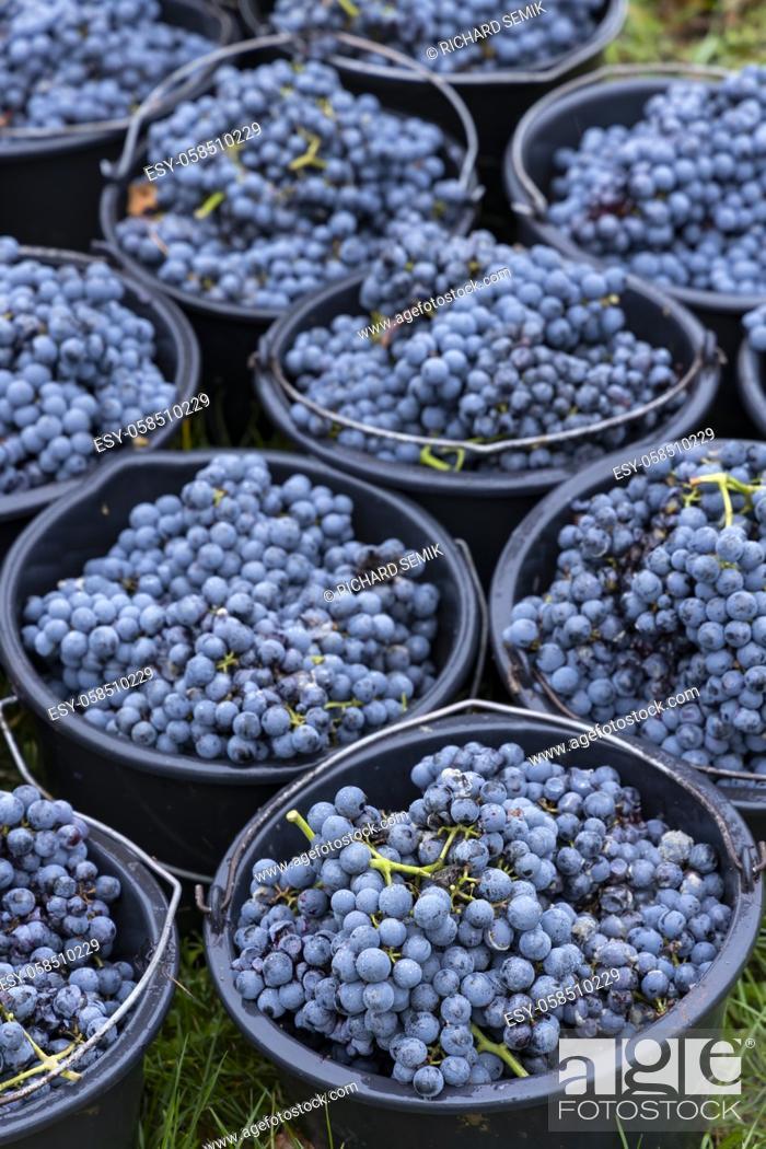 Imagen: harvested terrible varieties Cabernet Moravia in autumn vineyard, Southern Moravia, Czech Republic.